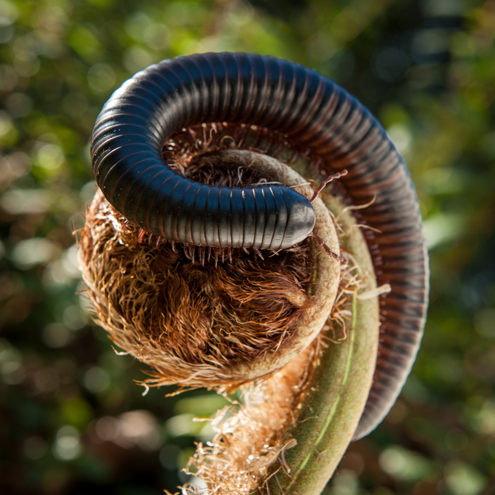 The final shot of the Giant Madagascar Millipede